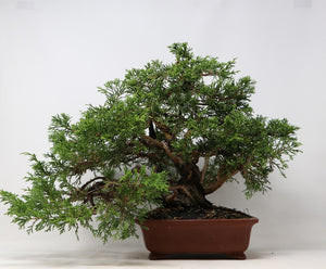 "Chuhin Itoigawa Juniper Bonsai Juniperus chinensis ""itoigawa"" 12"" H x 20"" W Outdoor Bonsai Tree"