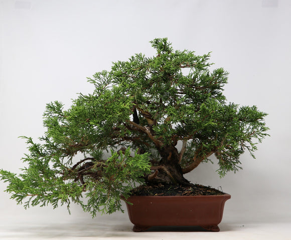 Chuhin Itoigawa Juniper Bonsai Juniperus chinensis