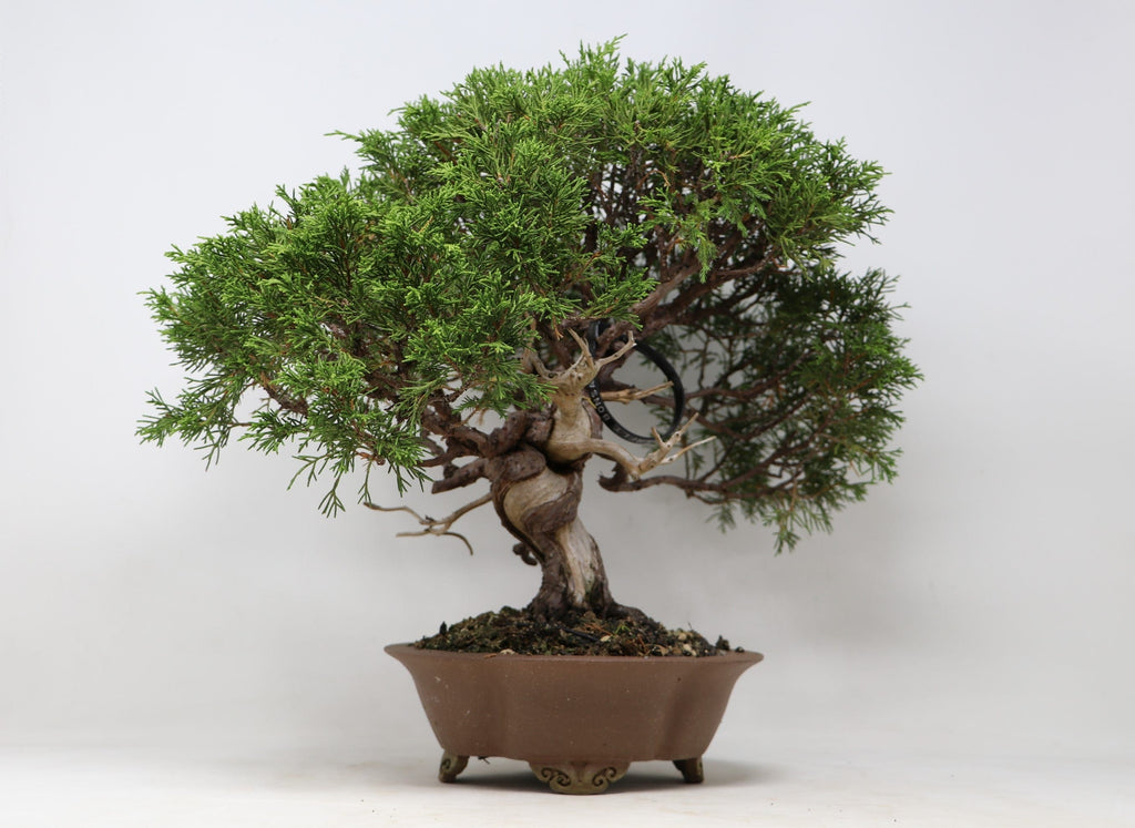 "Shohin Itoigawa Juniper Juniperus chinensis ""itoigawa import"" 9"" H x 15"" W Roy Minori container Outdoor Bonsai Tree"