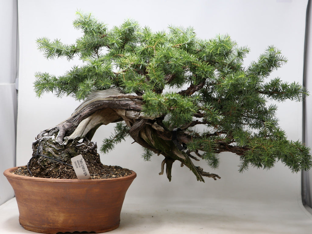 "Imported Japanese Tosho Needle Juniper Bonsai Juniperus rigida - 13"" H x 23"" W - Outdoor Bonsai Tree"