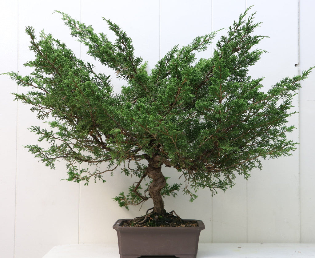 "Itoigawa Juniper Bonsai Juniperus chinensis ""itoigawa"" 23"" H x 24"" W Outdoor Bonsai Tree"