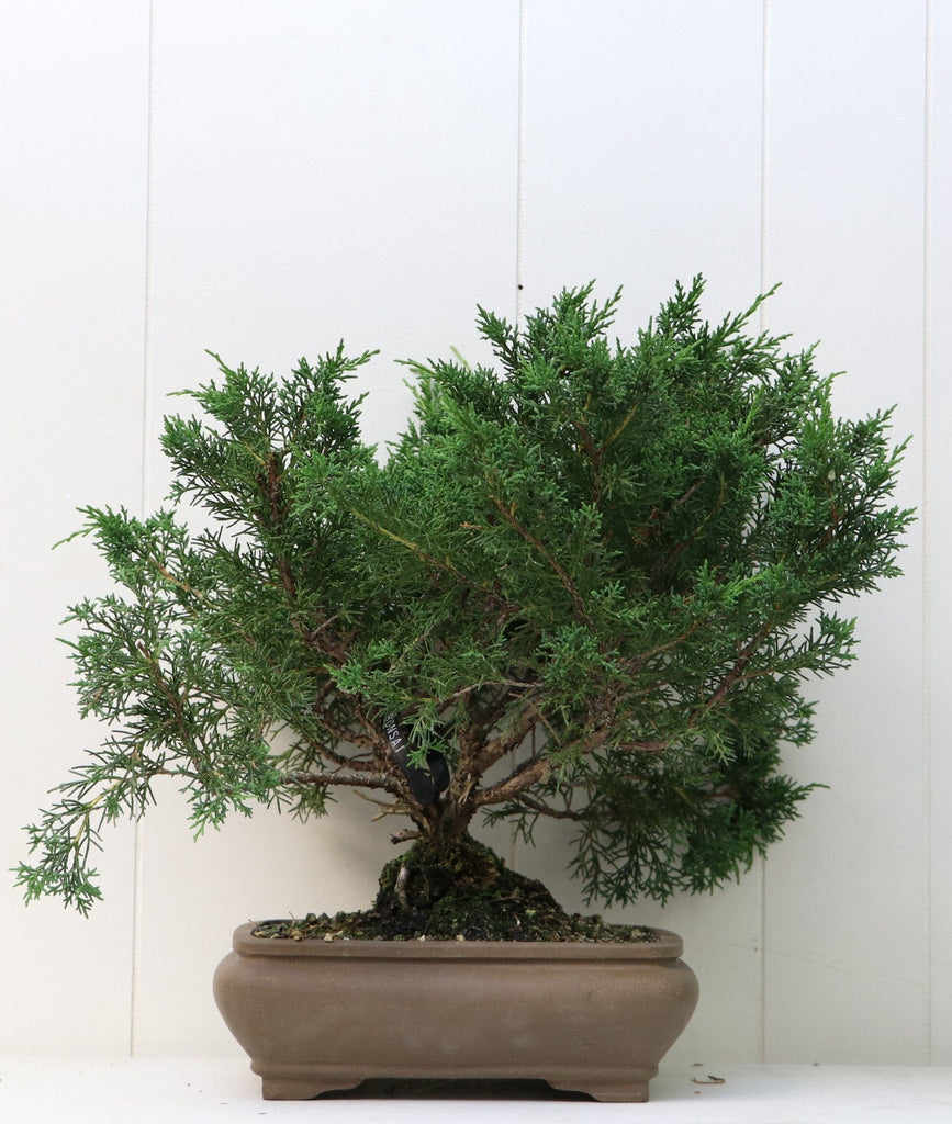 "Shohin Shimpaku Juniper Bonsai Juniperus chinensis ""shimpaku"" 15"" H x 15"" W Outdoor Bonsai Tree"