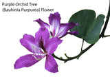 Tropical Indoor Bonsai Tree Starter Seed Kit - Flamboyant Tree, Sacred Fig Tree, Purple Orchid Tree