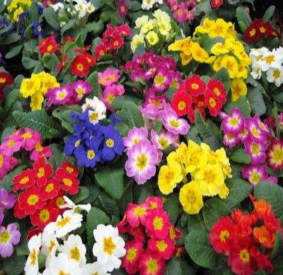 25+ PRIMULA GIGANTEA MIX PRIMROSE FLOWER SEEDS / PERENNIAL / SHADE / HOUSEPLANT - Rancupid Mall