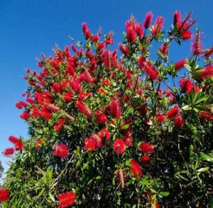 Callistemon citrinus RED BOTTLEBRUSH Seeds - Rancupid Mall