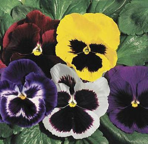 35+ PANSY SWISS GIANTS MIX aka VIOLA FLOWER SEEDS, COOL WEATHER PLANT PERENNIAL - Rancupid Mall