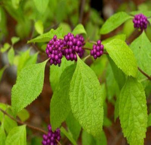 Callicarpa americana AMERICAN BEAUTYBERRY BUSH Seeds! - Rancupid Mall