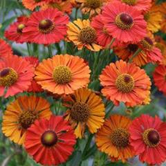 50+ HELENIUM AUTUMN DAZZLE MIX FLOWER SEEDS / PERENNIAL / aka SNEEZWOOD / EASY!