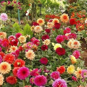 25+ DAHLIA SHOWTIME MIX FLOWER SEEDS / ANNUAL - PERENNIAL / TALL / EASY TO GROW - Rancupid Mall