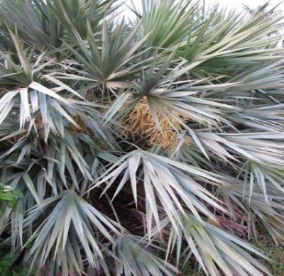 Serenoa repens SILVER SAW PALMETTO Seeds!
