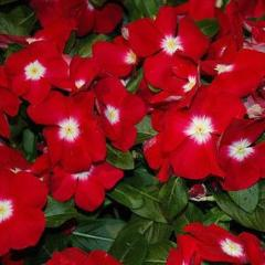 40+ VINCA SUNSTORM RED HALO FLOWER SEEDS/ PERIWINKLE / HARDY / DEER RESISTANT