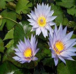 Tropical Waterlilies/ Pamela