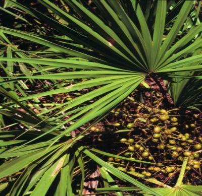 Serenoa repens SAW PALMETTO - SC Source Seeds!