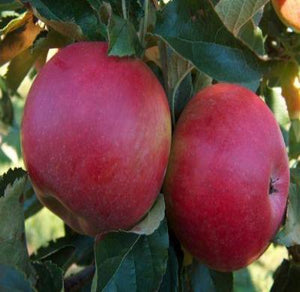 Jonathan Apple Tree Semi-Dwarf Edible Fruit Healthy Red Apple 1 Bare Root Plant - Rancupid Mall