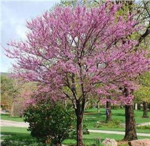 2 Spring Blooming Redbud Trees Wonderful Blooms Heart Shaped Leaves - Rancupid Mall