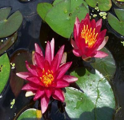 Hardy Waterlilies/ Reflective Flane - Rancupid Mall