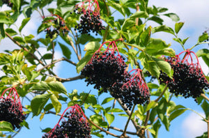 50 Elderberry seeds (Sambucus canadensis c.s.) Fast Edible showy Tree CombSH - Rancupid Mall