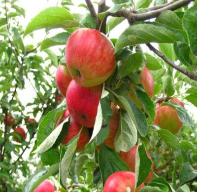 Gala Apple Tree - Semi-Dwarf Edible Fruit Healthy Red Apple - 1 Bare Root Plant - Rancupid Mall