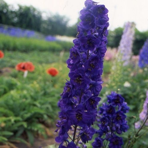 50+ GIANT PACIFIC BLACK KNIGHT DELPHINIUM / LARKSPUR FLOWER SEEDS / DEER RESIST - Rancupid Mall