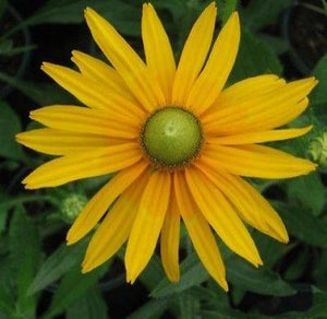 "30+ RUDBECKIA ""GREEN EYES"" FLOWER SEEDS / DEER RESISTANT/ ANNUAL / SELF-SEEDING - Rancupid Mall"