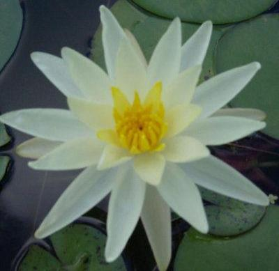Hardy Waterlilies/ Charlene Strawn - Rancupid Mall