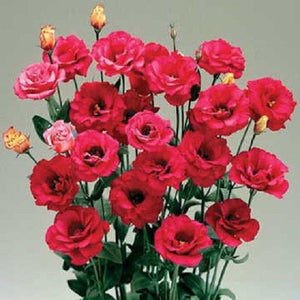 15+ LISIANTHUS ARENA RED FLOWER SEEDS, DOUBLE FLOWERS, DEER & RABBIT RESISTANT! - Rancupid Mall