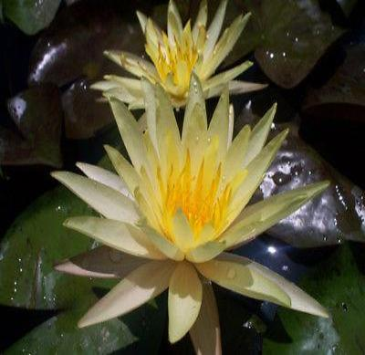 Hardy Waterlilies/ Sribanpra - Rancupid Mall