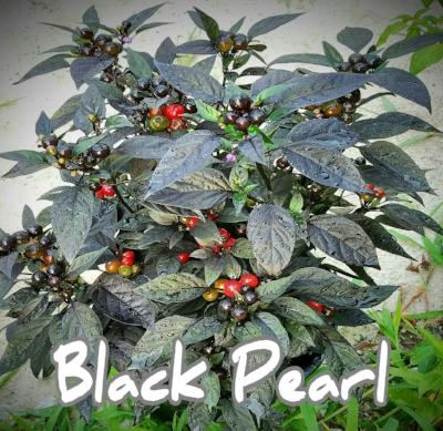 (25+) Black Pearl Pepper Seeds - Rancupid Mall