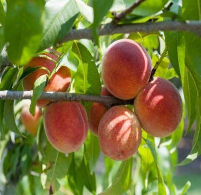 Red Haven Peach Tree Semi-Dwarf - Edible Fruit Healthy - 1 Bare Root Plant