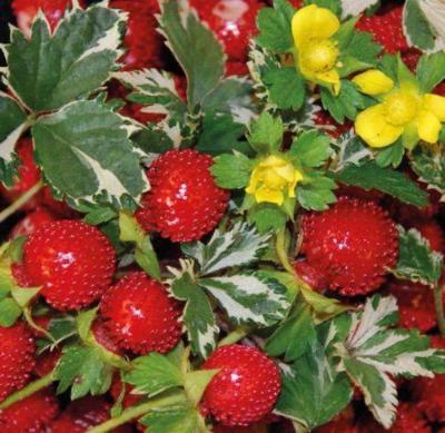 Indian Strawberry 50 seeds Potentilla indicai Exotic * Rare * CombSH I61 - Rancupid Mall