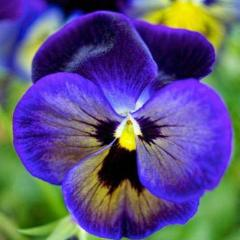 25+ PANSY JEMA BLUE SHADES aka VIOLA FLOWER SEEDS, COOL WEATHER, PERENNIAL