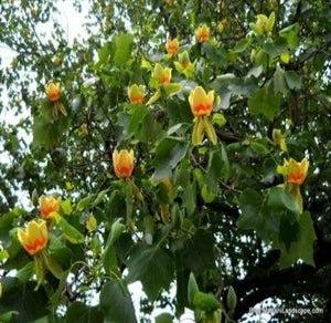 2 Tulip Trees Fast Growing and Great for Landscape L@@K - Rancupid Mall