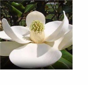 2 Beautiful Southern Magnolia Trees 2-3 Feet Tall FREE SHIP - Rancupid Mall