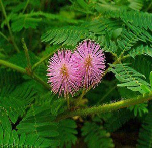 30+ TOUCH ME NOT FLOWER SEEDS / MIMOSA PUDICA / SHADE PLANT FOR INDOOR OR OUT / - Rancupid Mall