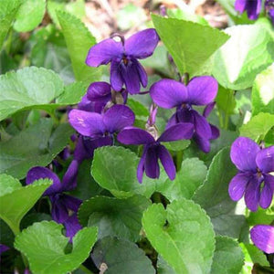 15+ VIOLA QUEEN CHARLOTTE FLOWER SEEDS / VIOLET / PERENNIAL / FRAGRANT / EASY