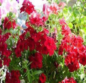 30+ PHLOX SCARLET RED FLOWER SEEDS, FRAGRANT, EASY TO GROW, ANNUAL / PERENNIAL - Rancupid Mall