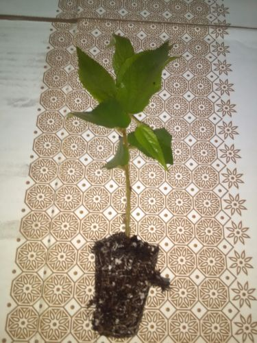 Jamaican Cherry aka Strawberry Tree Muntingia calabura 2 rooted cuttings - Rancupid Mall