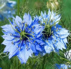 LOVE IN A MIST JEWELS MIX Nigella Damascena - 1,000 Seeds - Rancupid Mall