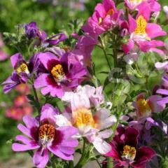 50+ SCHIZANTHUS TINKERBELL MIX, POOR MAN'S ORCHID FLOWER SEEDS, BUTTERFLY, EASY!