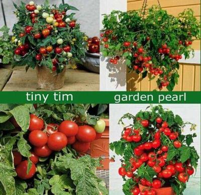 Tiny Tim Tomato 50 seeds Heirloom* Non GMO * ez grow *Sweet Mini CombSH B72