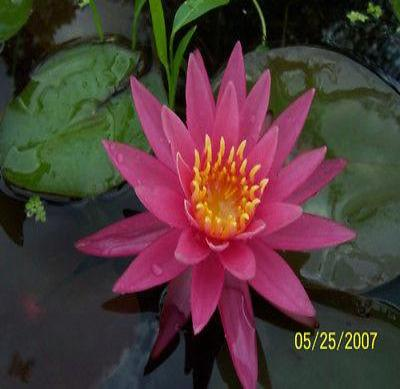 Hardy Waterlilies/ Dallas - Rancupid Mall