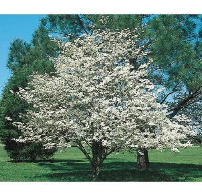 2 White Dogwood Trees Beautiful White Blooms in Early Spring - Rancupid Mall