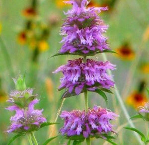 50+ MONARDA LEMON MINT BEE BALM FLOWER SEEDS / PERENNIAL / DEER RESISTANT - Rancupid Mall
