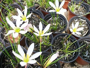 Marginal-Bog Plants/ Rain Lily(3 plants in bundle)