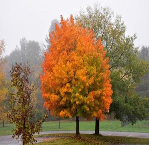 2 Sugar Maple Trees Make Your own Maple Syrup Fall Beauty Free Shipping - Rancupid Mall