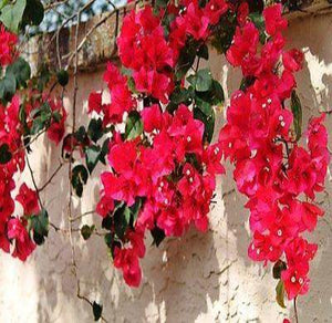 Bougainvillea - 'San Diego Red' - Rancupid Mall