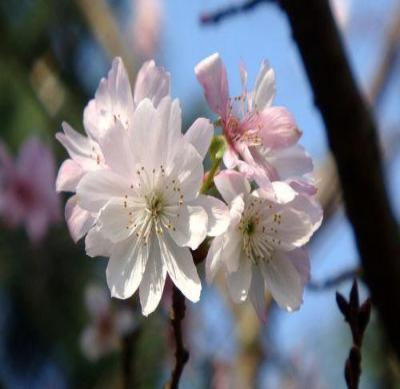 Autumn Flowering Higan Cherry Tree - Rooted - 1 Plant in 1 Gallon Pot - Rancupid Mall