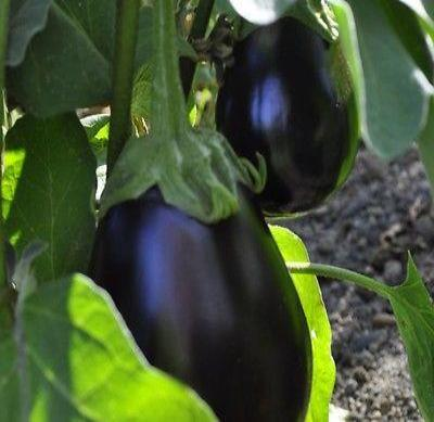 Black Beauty Eggplant 125 seeds * NON GMO * ez grow * E81 - Rancupid Mall