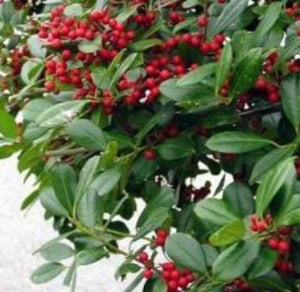 Holly East-Palatka (25 seeds) fresh this season's harvest from my garden - Rancupid Mall