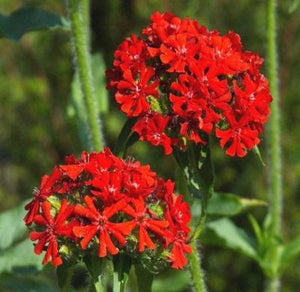 MALTESE CROSS Lychnis Chalcedonica - 1,000 Seeds